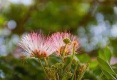 Blomma av för valnötregn för östlig indier trädet royaltyfria bilder