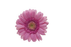 Blomma av gerberaen Royaltyfria Foton