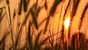 Blomma av gräs som är rörd vid sommarvind lager videofilmer