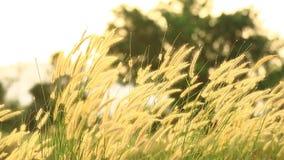 Blomma av gräs som är rörd vid sommarvind stock video