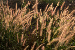 Blomma av gräset Royaltyfria Bilder