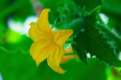 Blomma av gurkan Arkivbilder