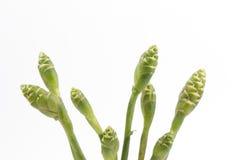 Blomma av ingefäran (Zingiberofficinale Roscoe). Arkivbild
