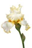 Blomma av irins, lat. Iris som isoleras på vita bakgrunder Royaltyfria Bilder