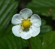 Blomma av jordgubbar (den Fragà ¡ riaen) royaltyfria foton