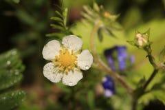 Blomma av jordgubben (véscaen för Fragà ¡ ria) arkivbilder