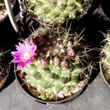 Blomma av kaktuns på den mörka bakgrunden Royaltyfri Fotografi