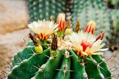 Blomma av   kaktus Royaltyfri Fotografi