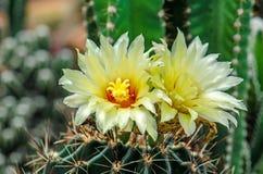 Blomma av kaktusblomman Fotografering för Bildbyråer