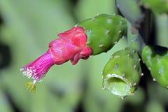 Blomma av kaktusOpuntiacochenilliferaen Arkivbilder