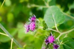 Blomma av kardborren Fotografering för Bildbyråer