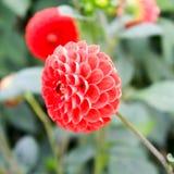 Blomma av 100 kronblad Royaltyfria Foton