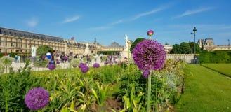 Blomma av löken i trädgården av tuileries i Paris fokus på blomman arkivfoton