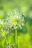 Blomma av löken på ljust - grön bakgrund Fotografering för Bildbyråer