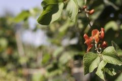Blomma av löparebönaväxten Fotografering för Bildbyråer