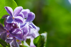 Blomma av lilan Royaltyfri Foto