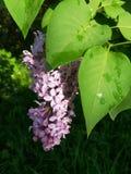 Blomma av lilan efter regn royaltyfria bilder