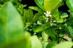 Blomma av limefrukt Royaltyfri Foto
