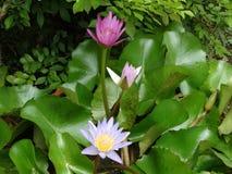 Blomma av lotusblomma Arkivfoto