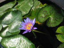 Blomma av lotusblomma arkivbild