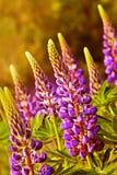 Blomma av lupines Royaltyfri Foto
