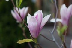 Blomma av magnolian arkivbild