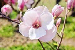 Blomma av magnoliaträdet i vår Arkivfoton