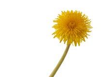 Blomma av maskrosen Makro Royaltyfri Fotografi
