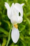 Blomma av Moringa Arkivfoto