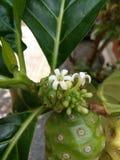 Blomma av Noni eller ostfrukt Arkivbild
