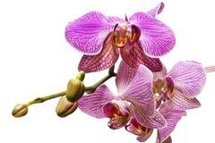 Blomma av orkidén Arkivbild