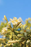 Blomma av papayaträdet royaltyfri bild