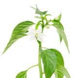 Blomma av paprikaväxten Fotografering för Bildbyråer