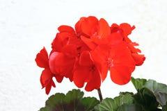 Blomma av pelargon Royaltyfri Fotografi