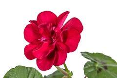Blomma av pelargon, lat Pelargonia Fotografering för Bildbyråer