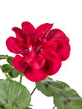 Blomma av pelargon, lat Pelargonia Royaltyfri Foto