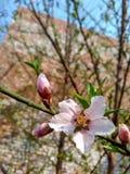 Blomma av persikan royaltyfri foto