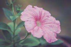 Blomma av petunian royaltyfria bilder