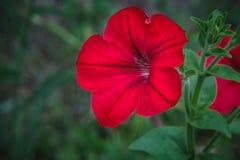 Blomma av petunian royaltyfri bild