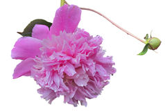 Blomma av pion 18 Arkivbild