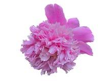 Blomma av pion 14 Royaltyfri Fotografi