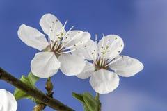 Blomma av plommonet Royaltyfria Foton