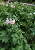 Blomma av potatisväxten i en stor odling i mountaien Fotografering för Bildbyråer