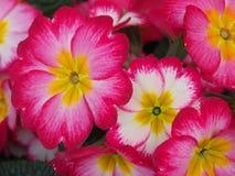 Blomma av primrosen Royaltyfria Bilder