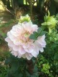 Blomma av rosa färger Royaltyfri Foto