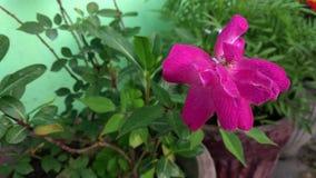 Blomma av rosa f?rgrosen i sommartr?dg?rden Indisk ros i blåsig trädgårdcloseup arkivfilmer