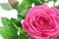 Blomma av rosa ro på white Arkivfoton