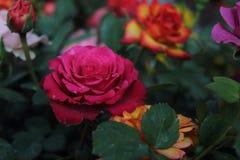 Blomma av rosen, med stora hjärta-formade kronblad, ryggar på stammen, ljusa och omväxlande färger som är vita som är rosa som är arkivfoto