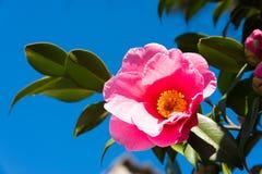 Blomma av sasanquaen och den blåa himlen Royaltyfria Foton