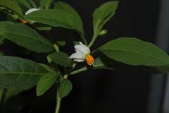 blomma av solanumen royaltyfri fotografi
